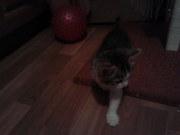 Кошка-очаровашка 3-4 месяца