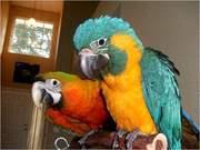 2дома,  поднятые и зарегистрирован синих и золотых попугаи ара для прод