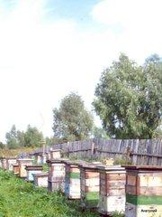 Продается пасека из 100 пчелосемей.