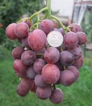 саженцы и черенки винограда почтой или транспортной компанией