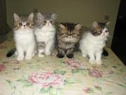 Котята персидские и плюшевый экзот